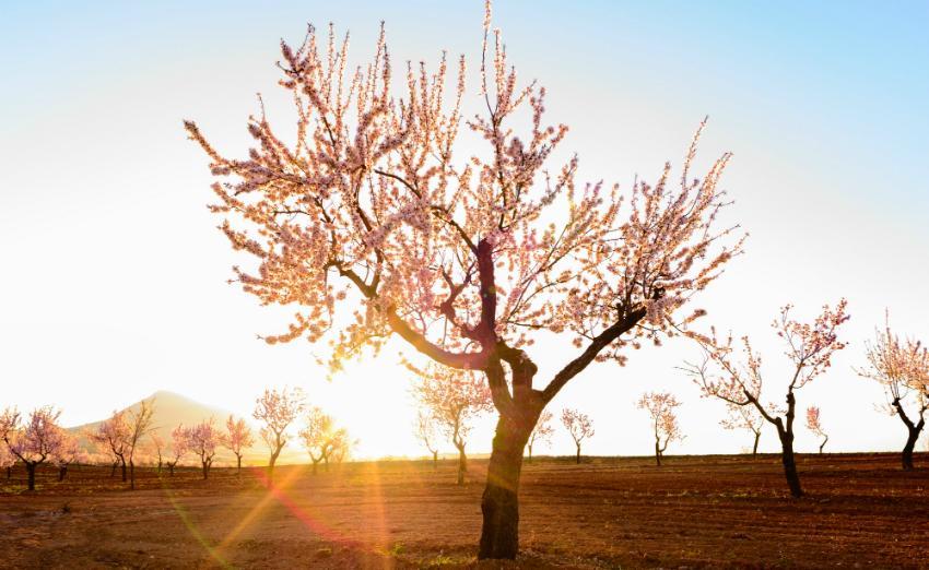 Malerische Mandelbäume laden zum Träumen ein