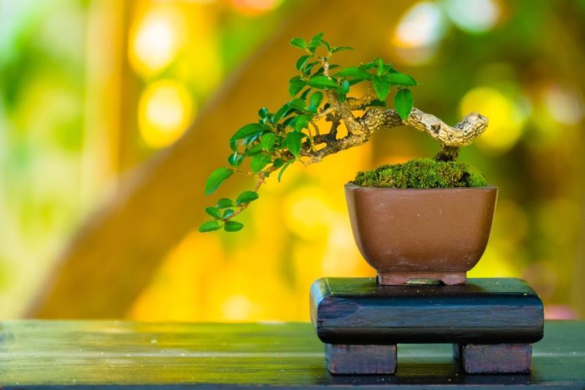 Bonsai als Hochzeitsbaum